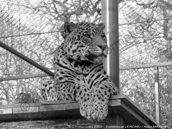 Photo numérique - Malgré la cage qui l'emprisonne, ce magnifique animal garde toute sa dignité et son regard semble perdu dans de profondes pensées...